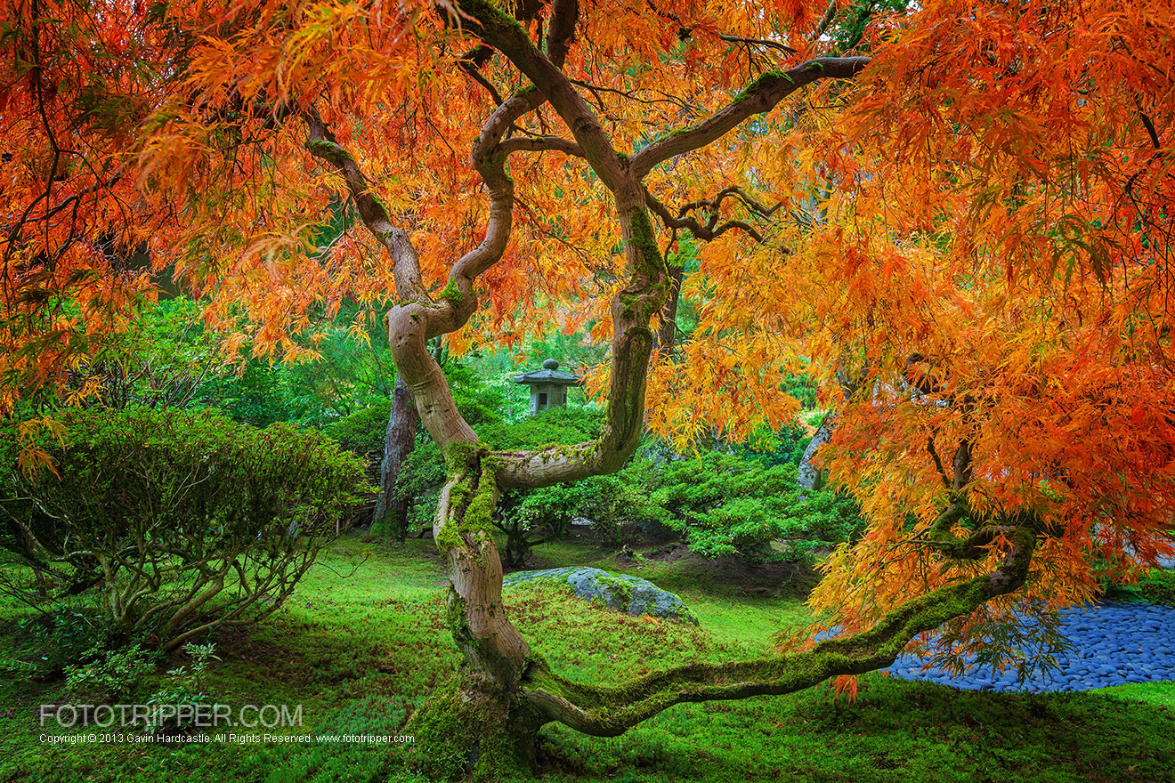 The Maple Trees of Portland Japanese Garden